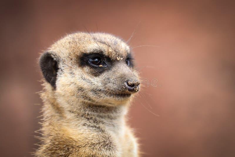 Das meerkat oder suricate Suricata suricatta lizenzfreies stockfoto