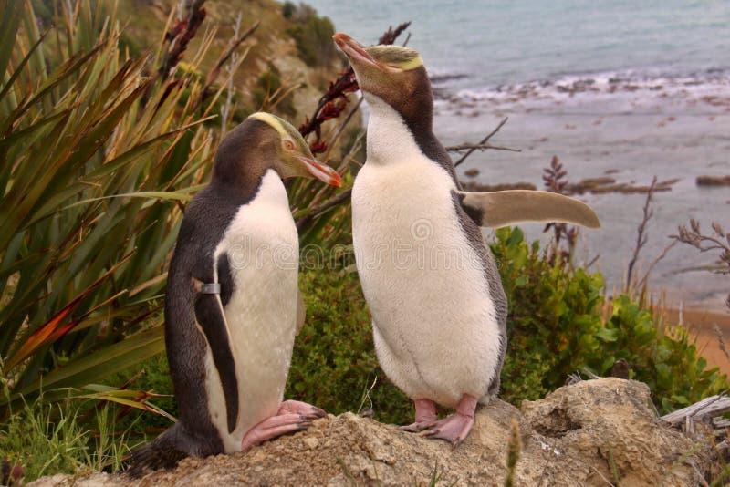 Das meiste kostbare Pinguinleben, Gelbaugenpinguin, Megadyptes-Antipoden, Neuseeland stockfotos