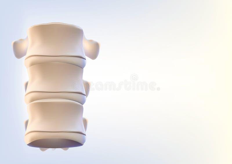 Das menschliche Dornbild ist realistisch Zeigt die medizinische Genauigkeit des menschlichen Skeletts und der Wiedergabe 3D lizenzfreie abbildung