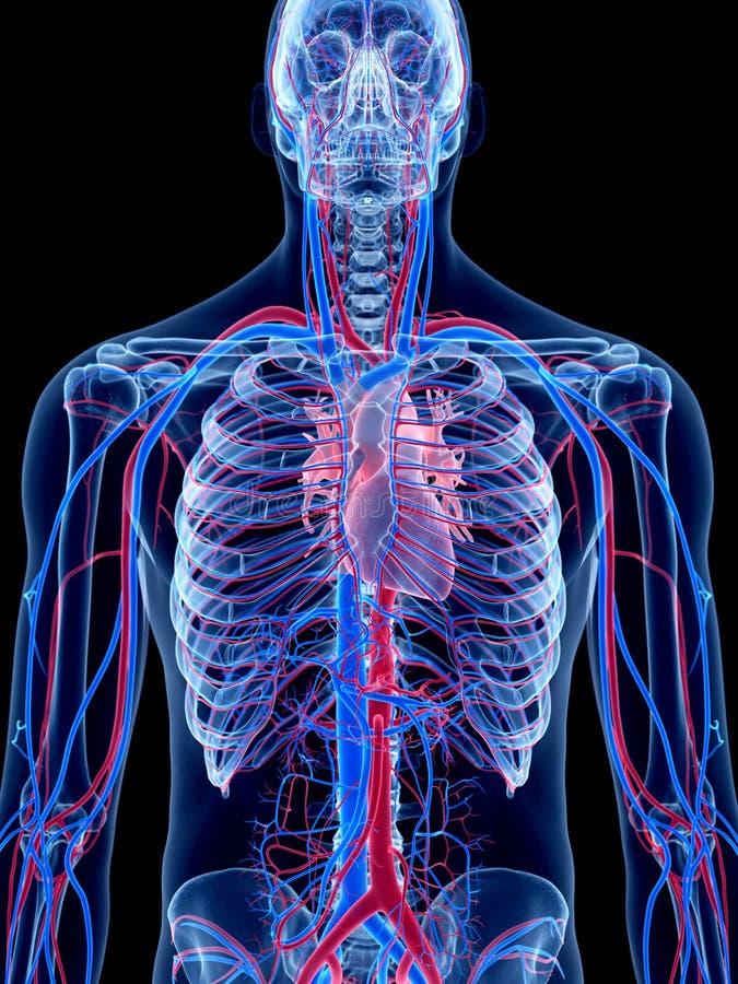 Das menschliche Gefäßsystem lizenzfreie abbildung