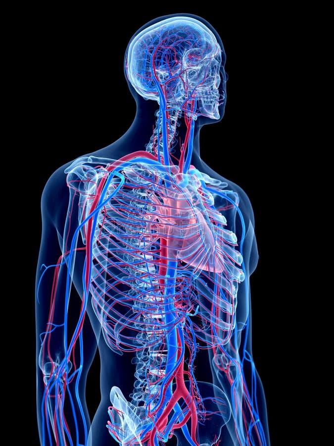 Das Menschliche Gefäßsystem Stock Abbildung - Illustration von ...