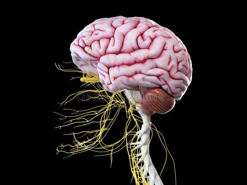 Das menschliche Gehirn und die Hauptnerven lizenzfreie abbildung