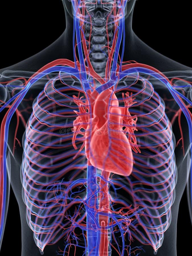 Das menschliche Innere vektor abbildung