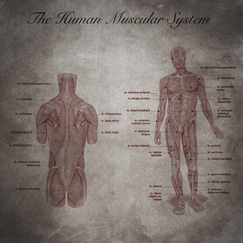 Gemütlich Menschliche Körper Organe Systeme Fotos - Anatomie und ...