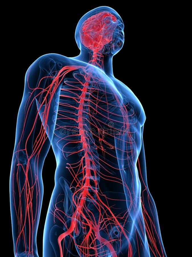 Das menschliche Nervensystem vektor abbildung