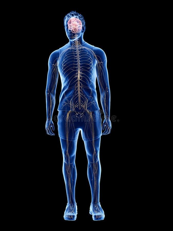 Das menschliche Nervensystem lizenzfreie abbildung