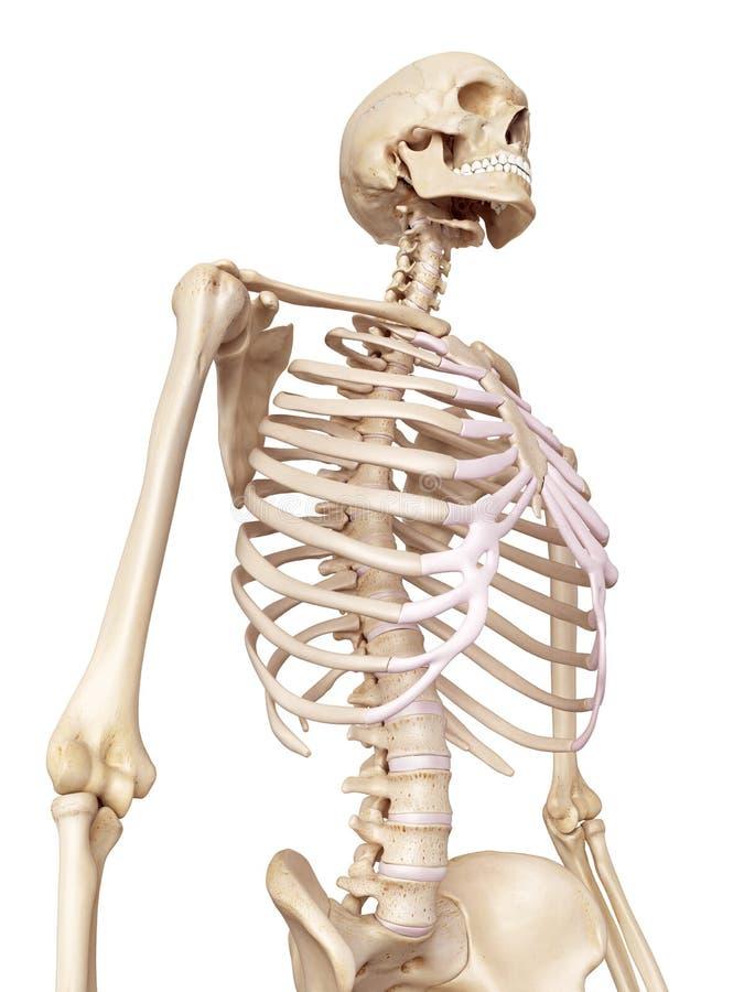 Das menschliche Skelett stock abbildung. Illustration von knochen ...