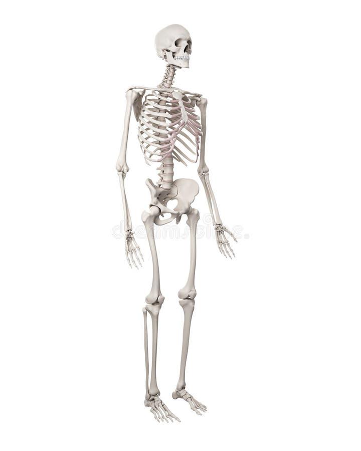Berühmt Menschliches Skelett Anatomie Quiz Bilder - Menschliche ...