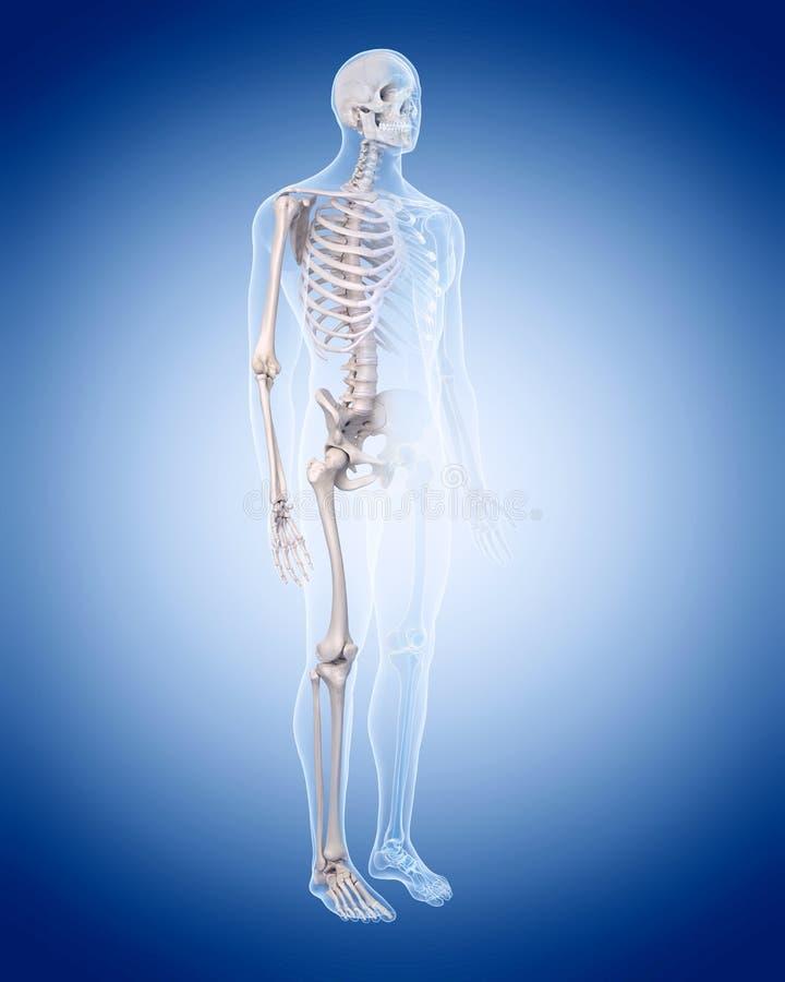 Das menschliche Skelett lizenzfreie abbildung