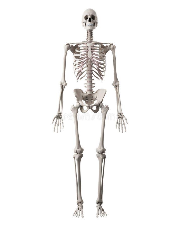 Das menschliche Skelett stock abbildung