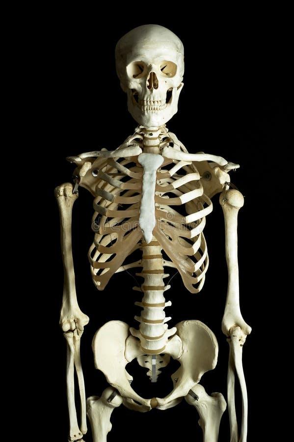 Das menschliche Skelett lizenzfreies stockbild