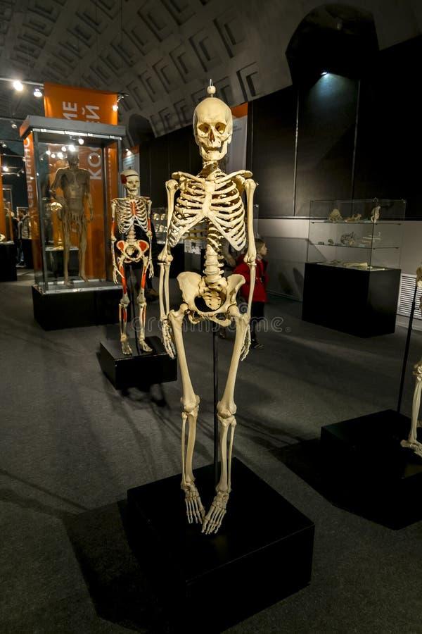 Das menschliche Skelett an der Ausstellung stockfoto