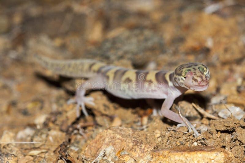 Das mit einem Band versehene Gecko Coleonyx Westvariegatus ist die Spezies des Geckos gefunden in den südwestlichen Vereinigten S lizenzfreies stockbild