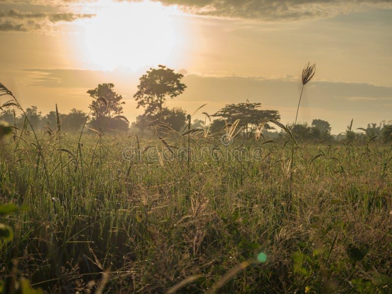Das Morgen-Reisfeld stockfoto