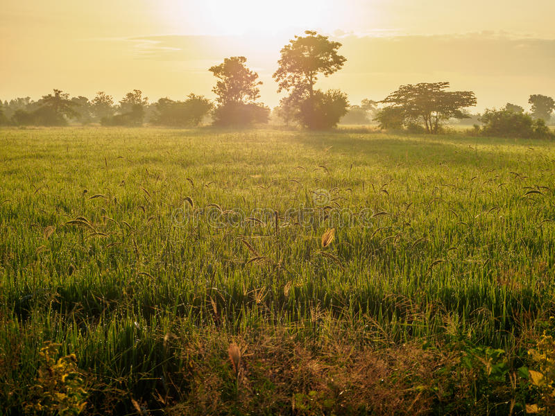 Das Morgen-Reisfeld stockfotografie