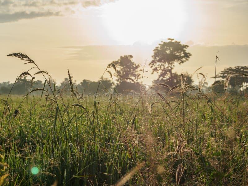 Das Morgen-Reisfeld lizenzfreies stockbild