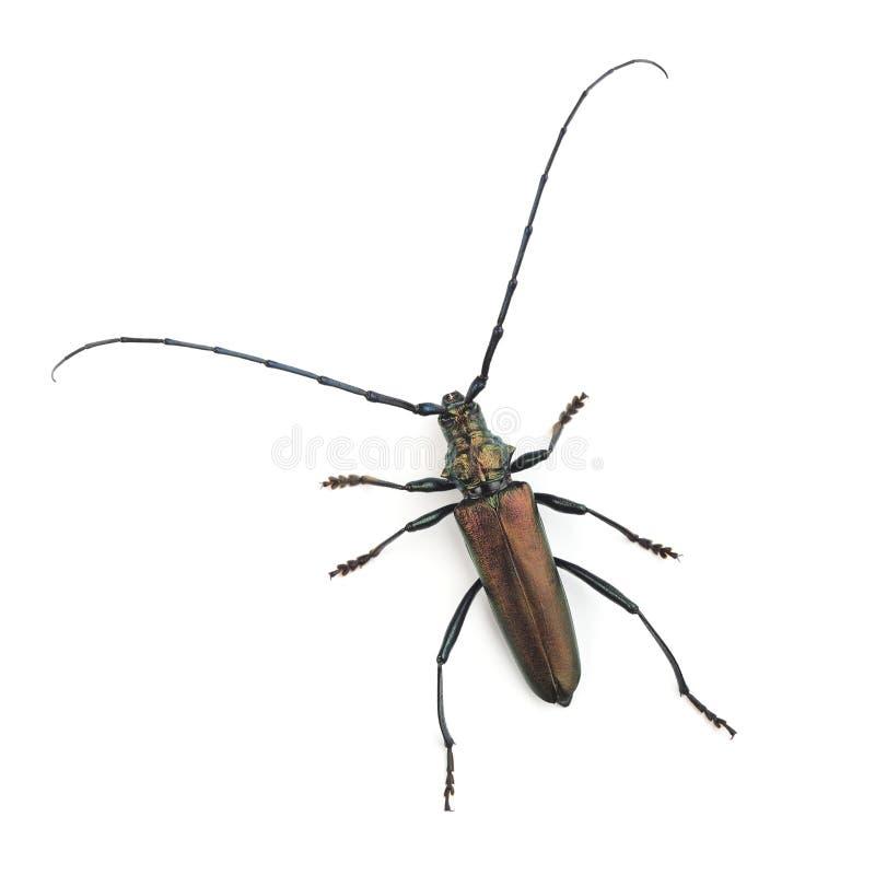 Das Moschuskäfer Aromia-moschata auf Weiß stockfotografie
