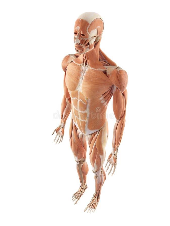 Erfreut Muskelsystem Vorderansicht Bilder - Menschliche Anatomie ...