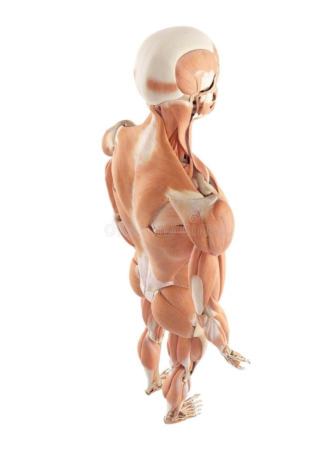 Niedlich Muskelsystem Ohne Etiketten Fotos - Menschliche Anatomie ...
