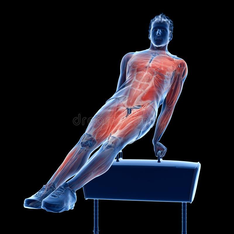 das Muskelsystem eines Turners stock abbildung