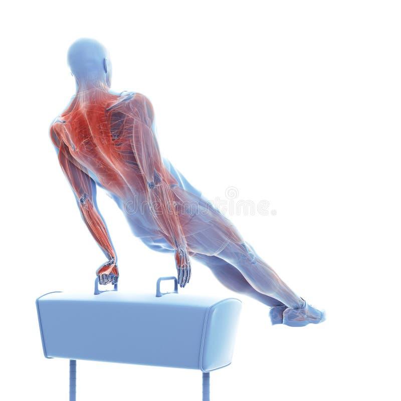 das Muskelsystem eines Turners vektor abbildung