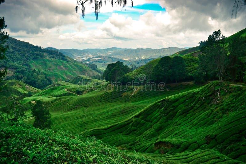Das Natur-Grün des Tee-Bauernhofes stockfotos