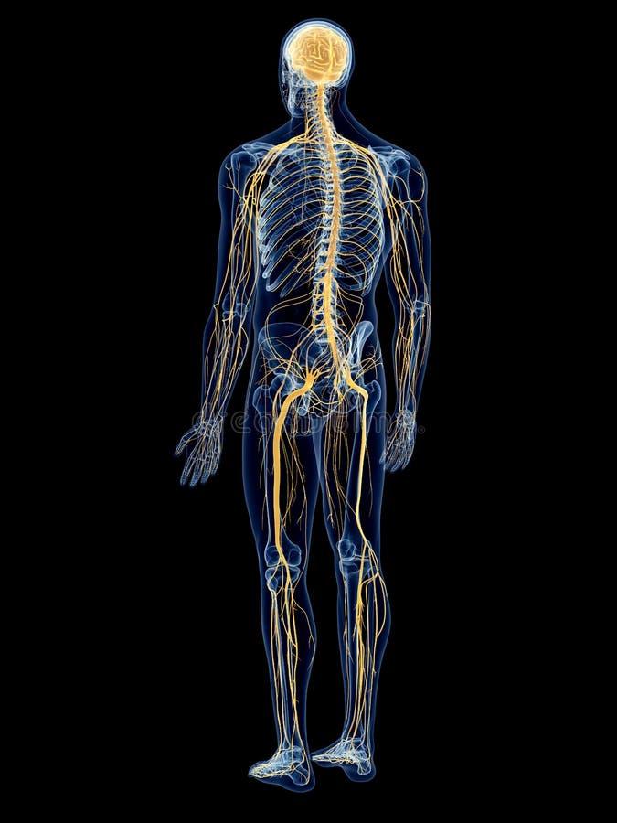Berühmt Anatomie Und Physiologie Des Nervensystems Studie Führer ...