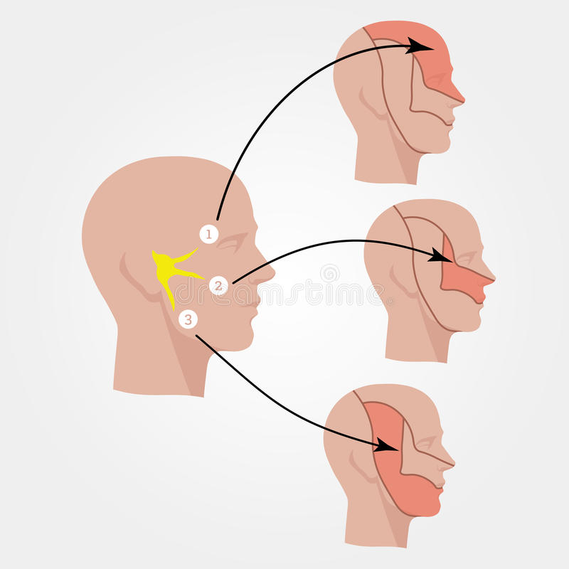 Das Nervus trigeminus Vorbildlicher Kopf weg geschnitten Flache Illustration lizenzfreies stockfoto