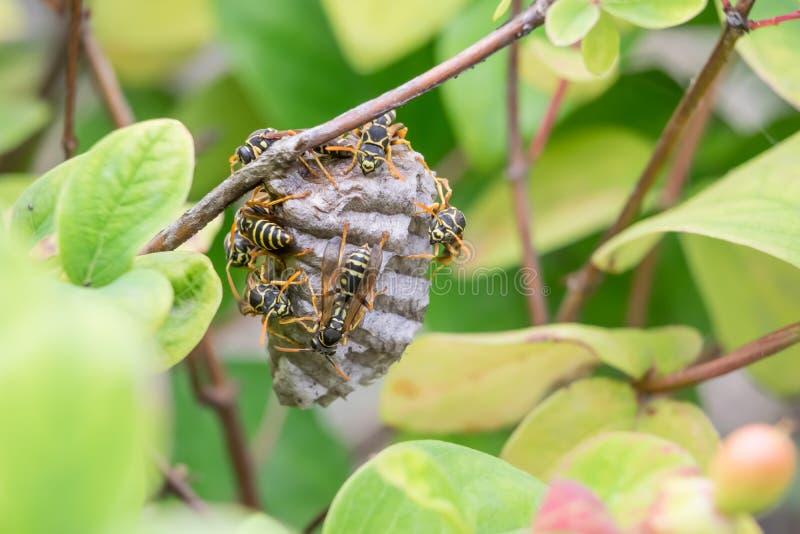 Das Nest der Wespe stockfotos
