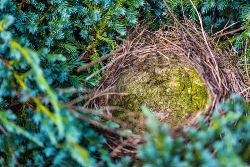 Das Nest des Vogels auf einem Koniferenbaum lizenzfreie stockfotografie