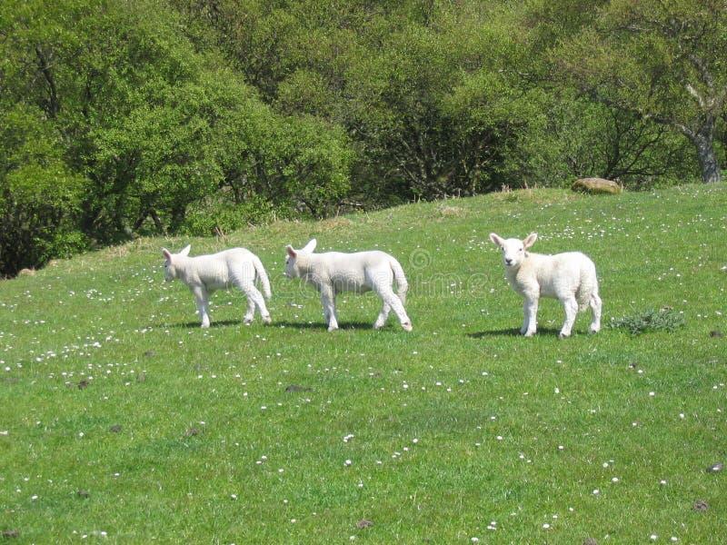 Das neugierige Lamm stockbild