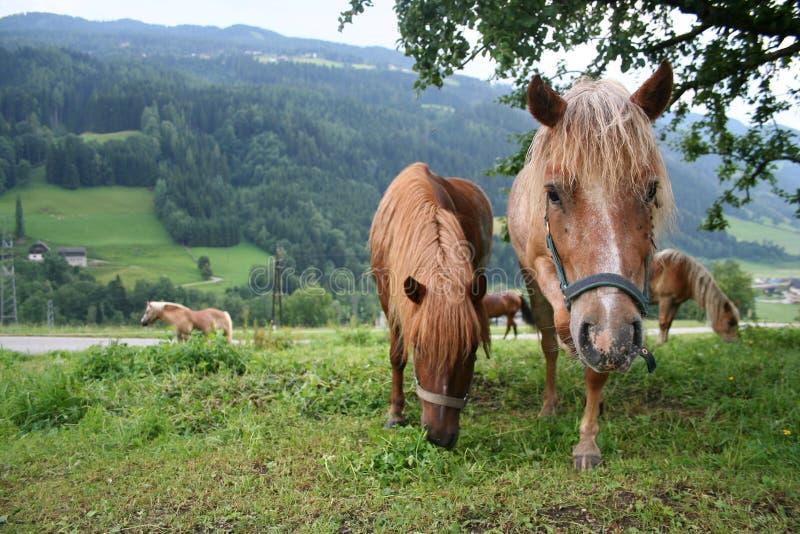 Das neugierige Pferd lizenzfreies stockfoto