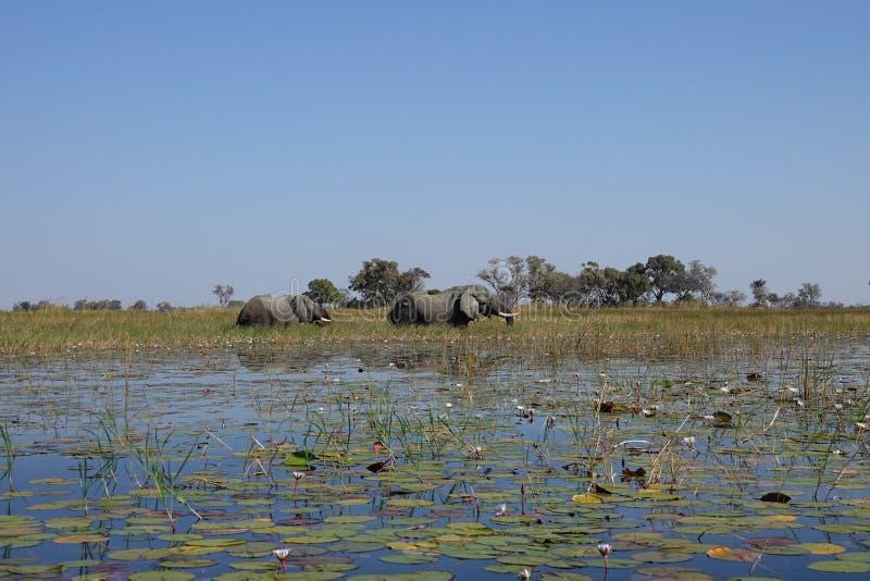 Das Okavango-Delta stockbild