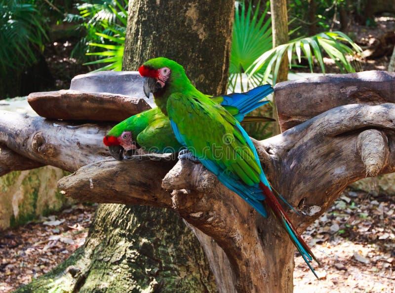 Das Paar des Grüns plappert Keilschwanzsittiche in Xcaret-Park Mexiko nach stockfotografie