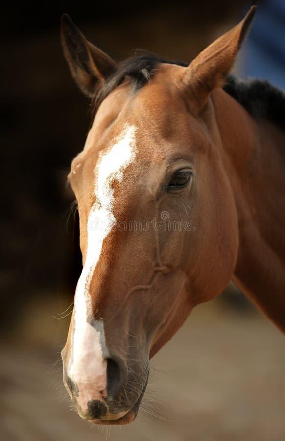 Das Pferd stockfoto