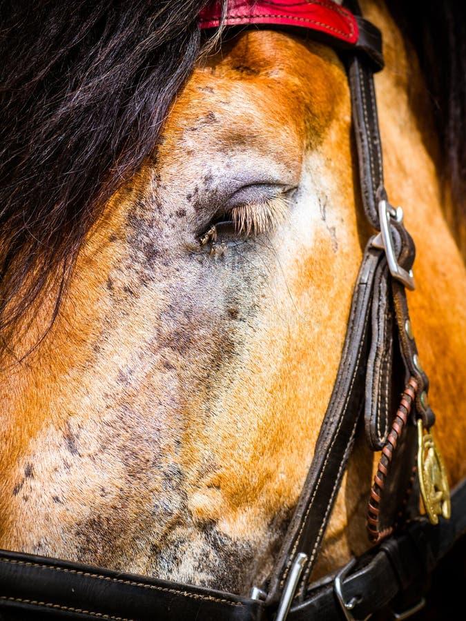 Das Pferd fliegt in das Auge lizenzfreies stockfoto