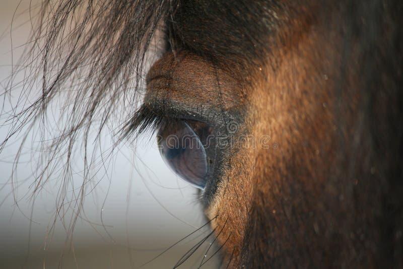 Das Pferdenauge stockfoto
