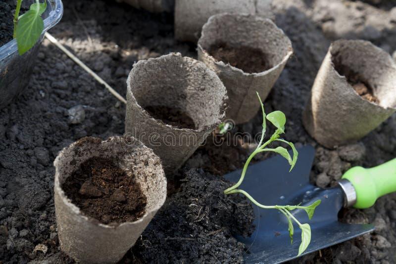 Das Pflanzen von Jungen pfeffert Sämlinge in den Torftöpfen auf Bodenhintergrund stockbilder
