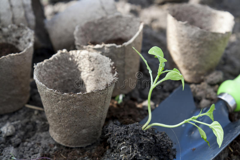 Das Pflanzen von Jungen pfeffert Sämlinge in den Torftöpfen auf Bodenhintergrund stockfoto