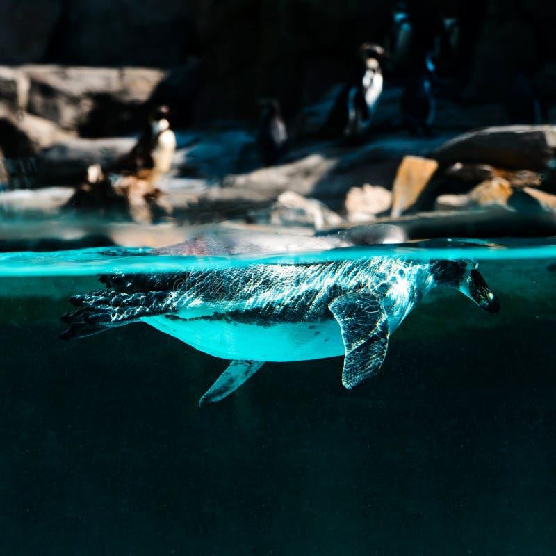 Das Pinguintauchen und -Schwimmen unter dem Wasser vor dem hintergrund des Ufers und anderer Pinguine lizenzfreies stockfoto