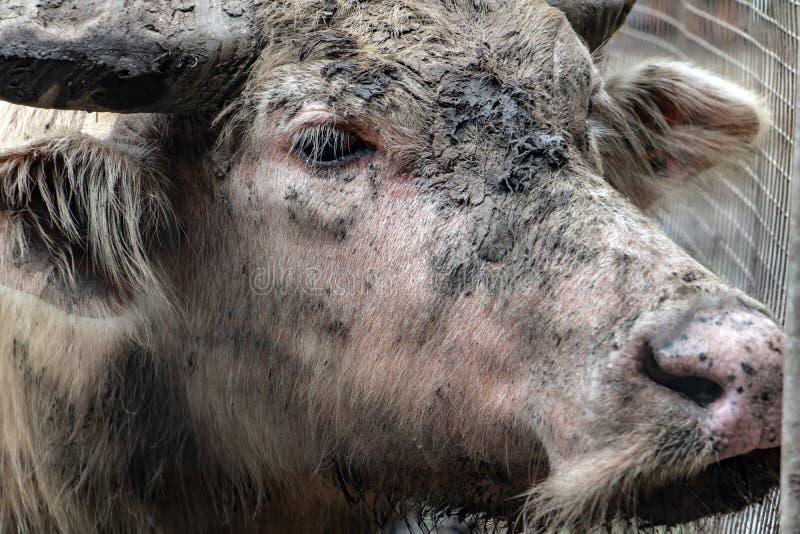 Das Porträt der schmutzigen Kuh, Thailand lizenzfreie stockfotografie
