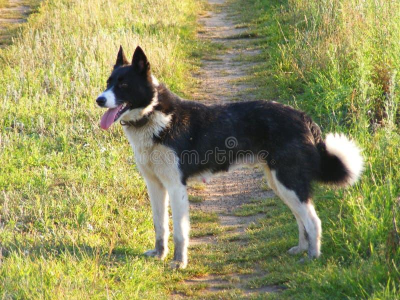 Das Porträt des karelischen Bärn-Hundes, Jäger stockfoto