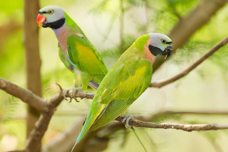 Das Porträt eines Paare rotbrüstigen Parakeet lizenzfreie stockfotos