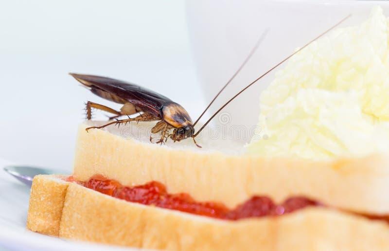 Das Problem im Haus wegen der Schaben, die in der Küche leben Schabe, die Vollweizenbrot auf weißem backgroundIsola isst stockbilder