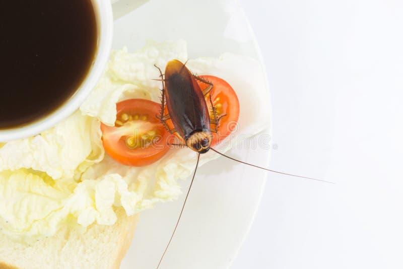Das Problem im Haus wegen der Schaben, die in der Küche leben Schabe, die Vollweizenbrot auf weißem backgroundIsola isst stockfoto