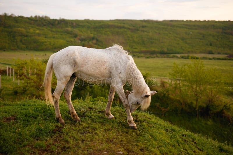 Das Profil eines Schimmels, der seinen Kopf verbog, Gras auf dem Gebiet essend Tier in wildem lizenzfreie stockfotos