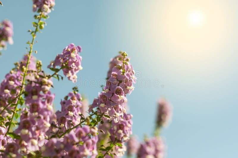 das Purpur vergessen mich nicht Blumenfeld am sonnigen schönen Tag stockbild