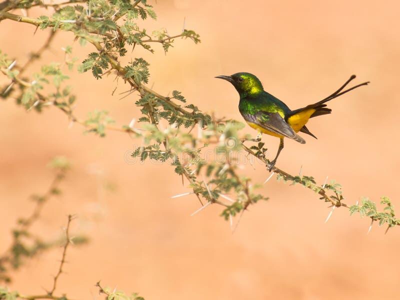 Das PygmäenSunbird lizenzfreie stockfotografie
