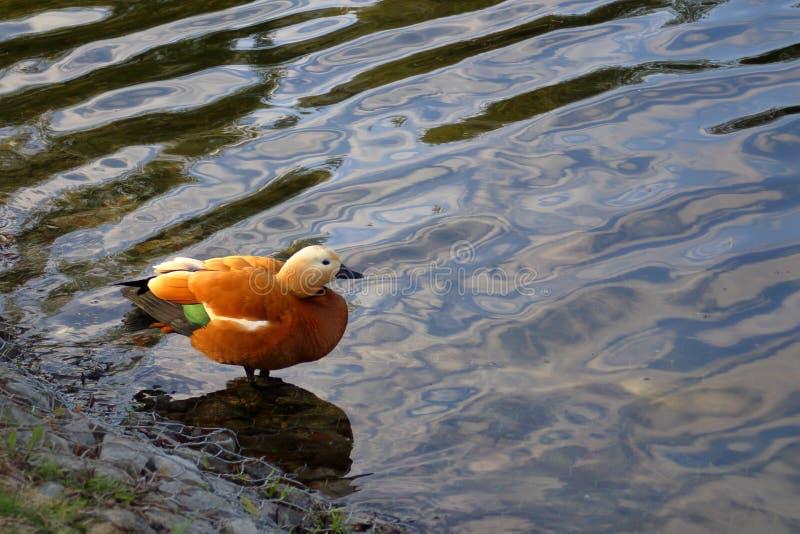 Das rötliche shelduck auf dem Teich stockfotografie