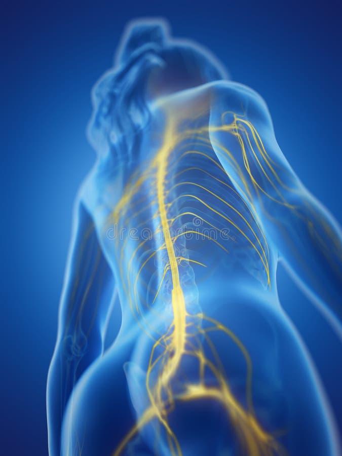 das Rückenmark einer Frau vektor abbildung